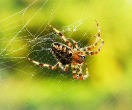 Araignée sur sa toile